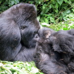 Rwanda Doubled the Price of Gorilla Permits, There are Alternatives