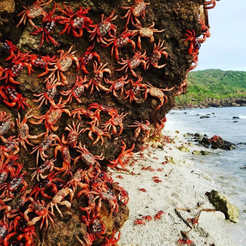 Christmas Island Red Crab Migration 2017 Ethel Beach